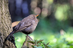 Song thrush. Song trush sitting on branch Stock Image