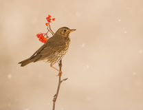 Song Thrush under a snowfall. A Song Thrush (Turdis philomelas) perches on a Rowan branch during a heavy snowfall royalty free stock images