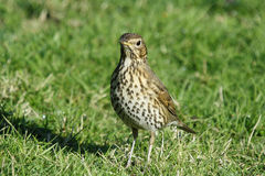 Song thrush_Turdus Royalty Free Stock Image