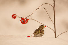 Song Thrush eating a berry on snow. A Song Thrush (Turdus philomelas) feeds on Rowan berries standing in deep snow stock photos