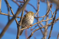 Song Thrush, Turdus philomelos. The Song Thrush (Turdus philomelos) is a thrush that breeds across much of Eurasia. It is also known in English dialects as Royalty Free Stock Images