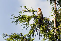 Song Thrush or Turdus philomelos. Song Thrush orTurdus philomelos loudly singing high in a tree Stock Photos