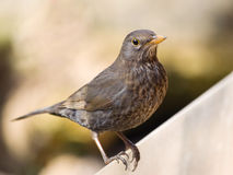 Song thrush - Turdus philomelos Stock Photography