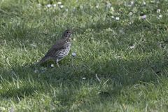Song thrush, turdus philomelos bird. Song thrush, turdus philomelos  bird Royalty Free Stock Image