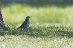 Song thrush, turdus philomelos bird. Song thrush, turdus philomelos  bird Stock Images