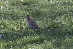 Song thrush, turdus philomelos bird. Song thrush, turdus philomelos  bird Royalty Free Stock Images
