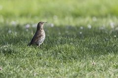 Song thrush, turdus philomelos bird. Song thrush, turdus philomelos  bird Royalty Free Stock Photo