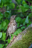 Song Thrush. Turdus philomelos. Bird Stock Photos