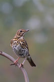 Song Thrush. Turdus philomelos. Stock Images