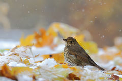 Song Thrush. Turdus philomelos. Bird Royalty Free Stock Image