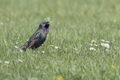 Song thrush, turdus philomelos bird. On meadow Stock Photography