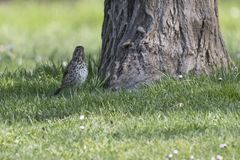 Song thrush, turdus philomelos bird. Song thrush, turdus philomelos  bird Royalty Free Stock Photography
