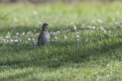Song thrush, turdus philomelos bird. Song thrush, turdus philomelos  bird Stock Photos