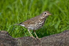 Song thrush (Turdus philomelos). On the branch of tree Stock Photography