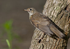 Song thrush (Turdus philomelos). On the branch of tree Stock Images