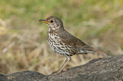 Song thrush (Turdus philomelos). On the branch of tree Royalty Free Stock Image
