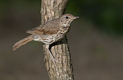 Song thrush (Turdus philomelos). On the branch of tree Stock Image