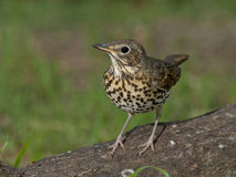 Song thrush (Turdus philomelos). On the branch of tree Royalty Free Stock Photos