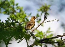 Song Thrush (Turdus philomelos). On the bush Royalty Free Stock Photos