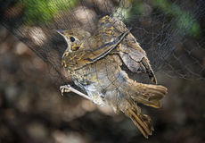 Song thrush (Turdus philomelos) Royalty Free Stock Image