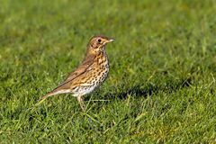 Song Thrush - Turdus philomelos at Croome Park, Worcestershire. Song Thrush - Turdus philomelos searching for food on a lawn at Croome Park in Worcestershire royalty free stock photos