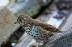 Song Thrush Turdus philomelos close-up. Song Thrush Turdus philomelos Extreme close-up stock photography