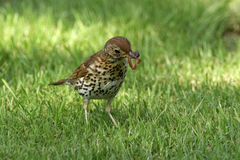 Song Thrush - Turdus philomelos Royalty Free Stock Images