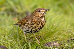 Song Thrush with green grass background. Song Thrush (Turdus philomelos) foraging in backyard lawn and looking in camera with green grass background Royalty Free Stock Images