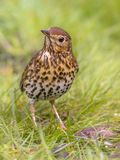 Song Thrush looking cute with green grass background. Song Thrush (Turdus philomelos) foraging in backyard lawn and looking cute with green grass background Royalty Free Stock Images