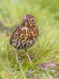 Song Thrush looking at ground with green grass background. Song Thrush (Turdus philomelos) foraging in backyard lawn and looking at ground with green grass Stock Photography