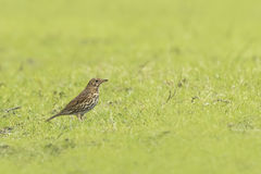 Song thrush Turdus philomelos Royalty Free Stock Photos