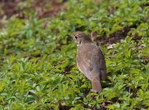 Song thrush Turdus philomelos  froze among the young green grass in spring.  stock photo