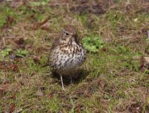Song thrush Turdus philomelos  froze among the young green grass in spring.  stock photos