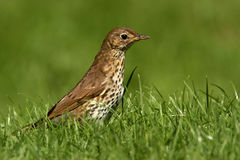 Song Thrush - Turdus philomelos Stock Photo