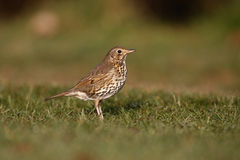 Song thrush, Turdus philomelos. On grass Royalty Free Stock Photo