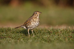 Song thrush, Turdus philomelos Stock Photography