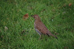 Song Thrush (Turdus philomelos). A song thrush on a green, grassy field. This picture was taken in West sussex, England in early April Stock Photography