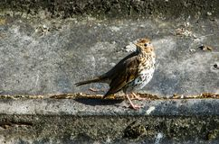 Song Thrush (Turdus philomelos) on the ground royalty free stock image
