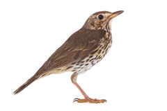 Song Thrush Turdus philomelos. Isolated on a white background Royalty Free Stock Photo