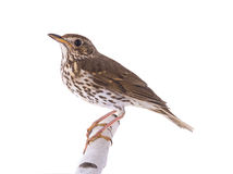 Song Thrush Turdus philomelos. Isolated on a white background Royalty Free Stock Images