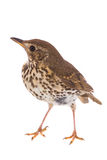Song Thrush Turdus philomelos. Isolated on a white background Stock Photos