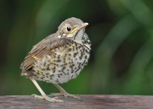 Song Thrush - Turdus philomelos juvenile. Youngster, chick, young bird Stock Photos