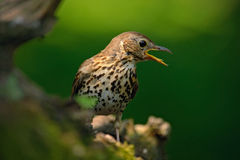 Song Thrush Turdus philomelos in the nature habitat. young bird sitting on the tree branch. Bird in the summer Hungary. Bird in th Royalty Free Stock Photos