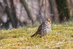 Song thrush with open beak on green grass with blurred trees in background. Song thrush Turdus philomelos. Singing passerine bird with black-spotted cream stock photography