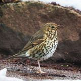 Song Thrush, Turdus philomelos. Park songbird - Song Thrush, Turdus philomelos Royalty Free Stock Photo