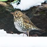 Song Thrush, Turdus philomelos. Park songbird - Song Thrush, Turdus philomelos Royalty Free Stock Photography