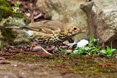Song Thrush, Turdus philomelos. Park songbird - Song Thrush, Turdus philomelos Royalty Free Stock Image