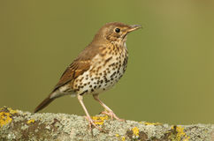 A Song Thrush Turdus philomelos perched on a lichen covered branch. Stock Image