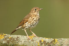 A Song Thrush Turdus philomelos perched on a lichen covered branch. A Song Thrush Turdus philomelos perched on a lichen covered branch in a tree Stock Photo