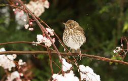 A stunning Song Thrush Turdus philomelos perched on a Mountain Ash tree in a snow storm, it has been eating the berries. A Song Thrush Turdus philomelos perched Stock Photography